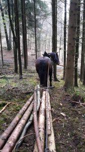 Holz vorliefern mit Pferden