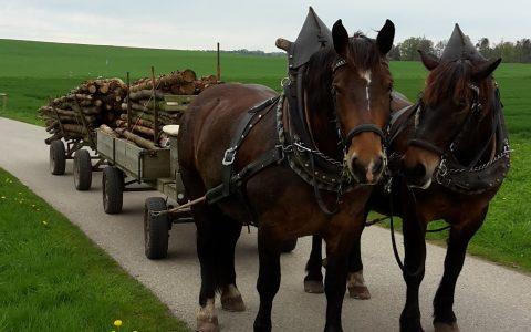 Pferdegespann vor zwei Anhängern mit Holz