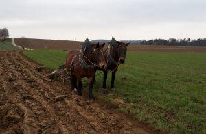 Pferde beim Pflügen von Weidelgras
