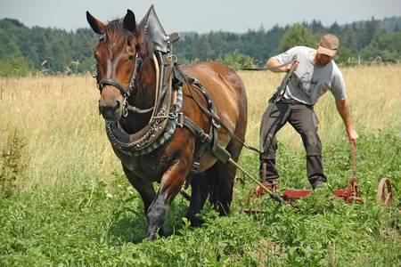 Kartoffeln hüffeln mit Pferden